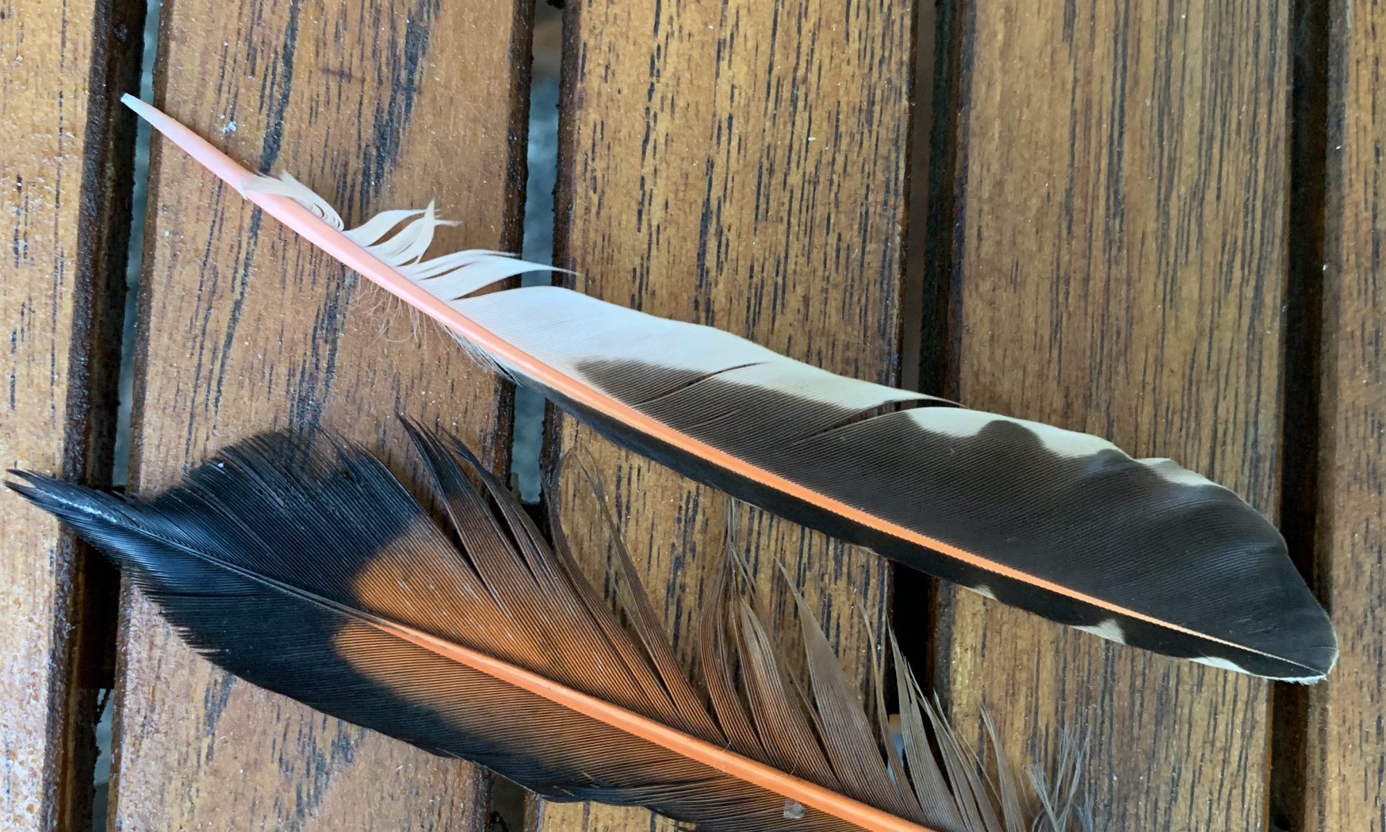 Two feathers, black-tipped is flicker feather with red-orange shaft